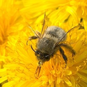 Soulager les piq res d abeilles - Soulager une piqure de guepe ...