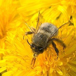 Soulager les piqûres d'abeilles