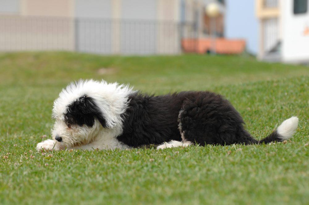 Le Berger anglais, un chien affectueux et idéal pour la famille