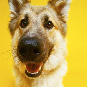 2. Des chiens renifleurs de cancer