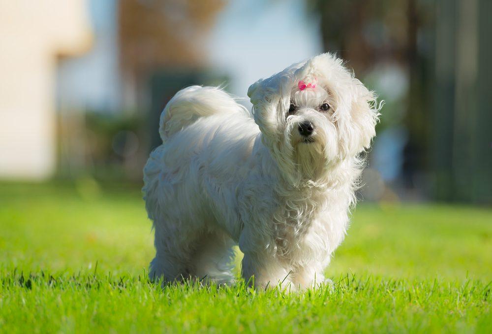 Le Bichon maltais, le petit chien joueur