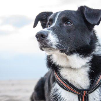 Les meilleures races de chiens pour votre famille