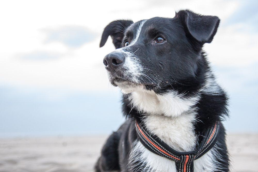 Le Border collie aime plaire à sa famille humaine et est considéré parmi les meilleures races de chiens pour la famille