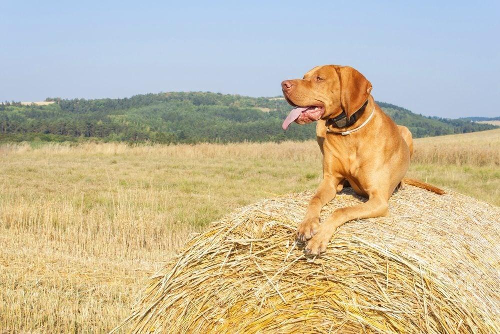 Le Vizsla (Braque hongrois) est une race de chien idéale pour la famille