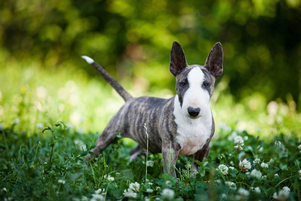 Le Bull terrier est une race de chien à choisir si vous avez des enfants et pour votre famille