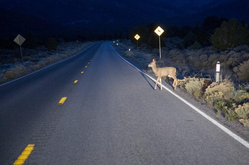 En voiture, faites attention aux cerfs de Virginie