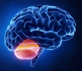 8. Votre cervelet a trois ans de moins que vous.