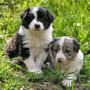 Choisir un chien (Guide Cesar Millan)