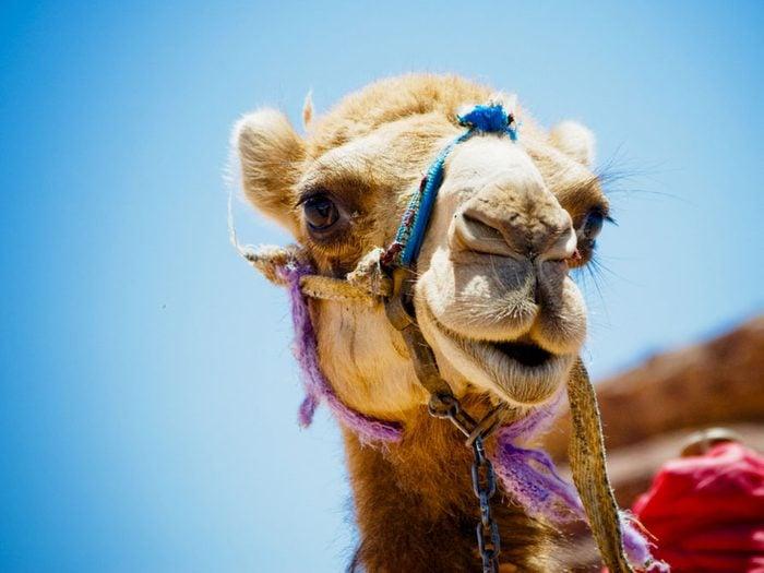 Le selfie qui rendra jaloux: un tour de chameau dans le désert en Égypte