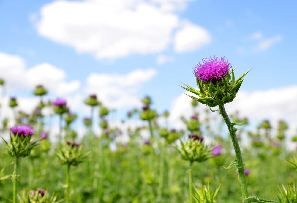 Mal d 39 estomac les meilleurs rem des de grand m re efficaces - Moucheron plante remede naturel ...