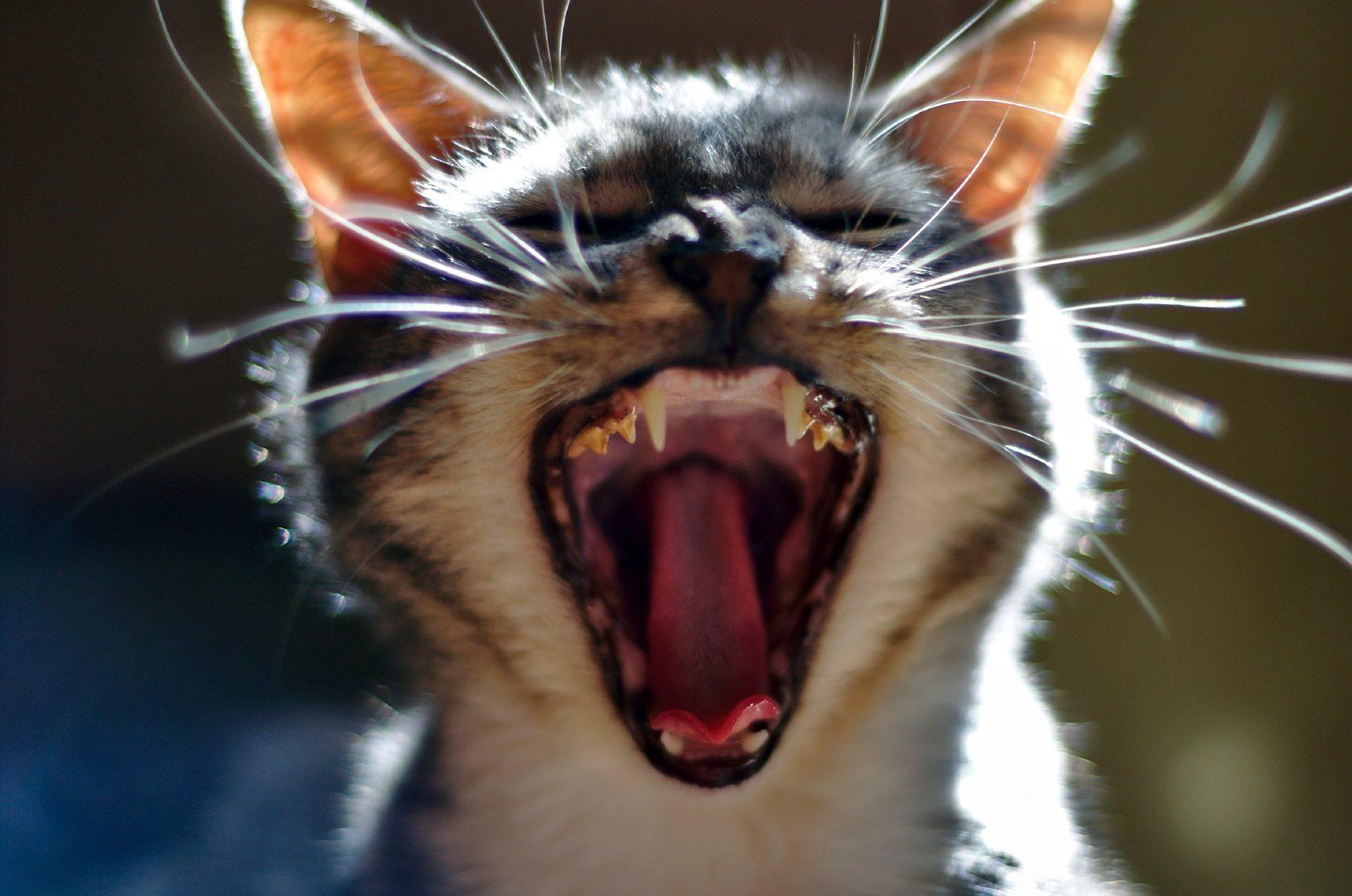 Le chat nettoie ses dents avec de la viande.