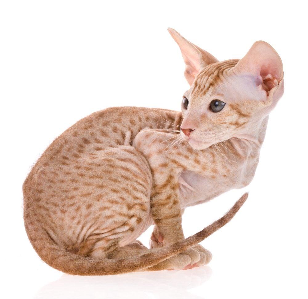 3. Le chat Peterbald, un chat sans fourrure