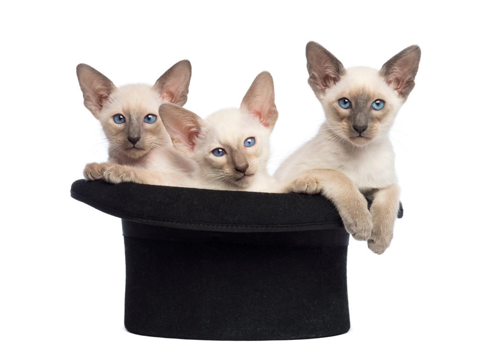 12. Les chats peuvent apprendre quelques tours