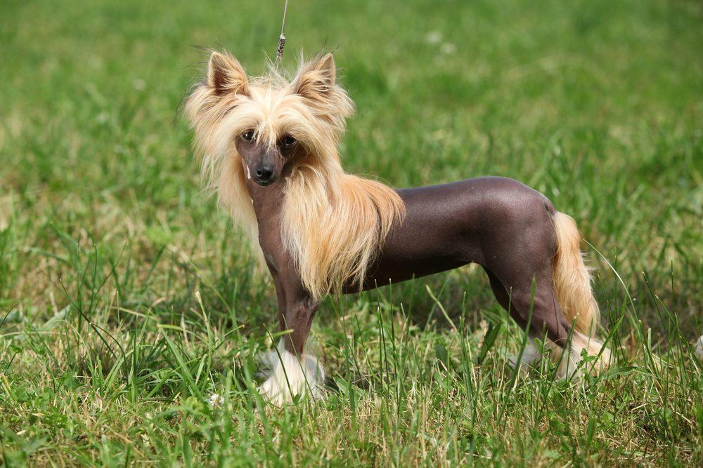 Super Les 20 races de chiens les plus étranges au monde FK56