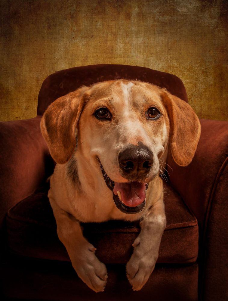 Le Foxhound américain émet des sons effroyables