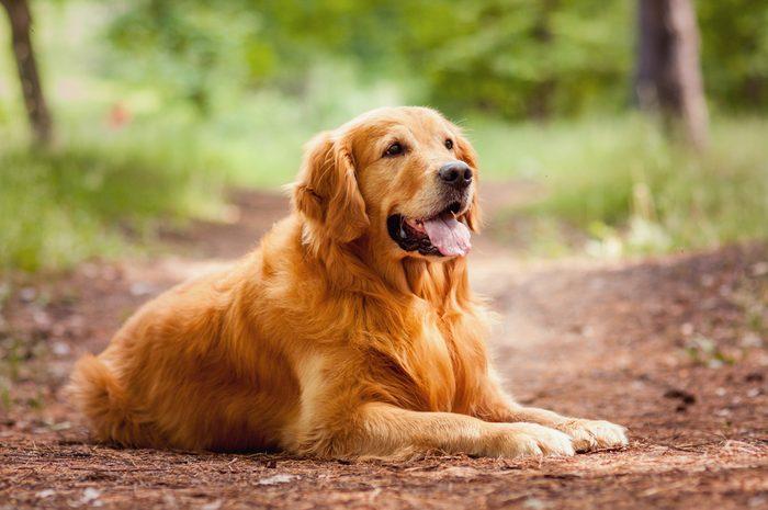 3. Le golden retriever est un chien apprécié
