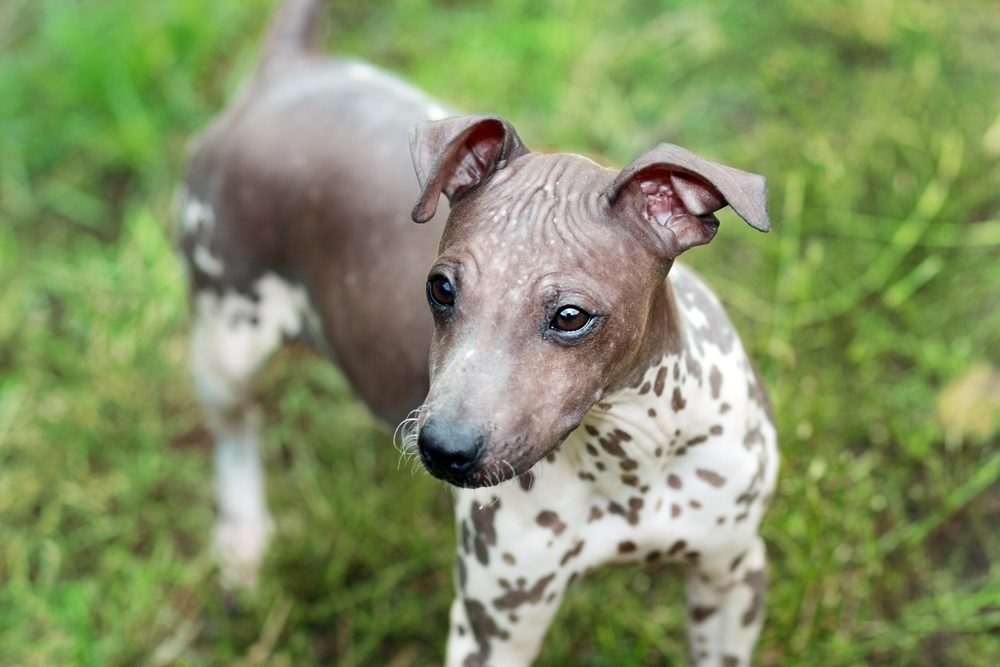 7. L'American Hairless Terrier