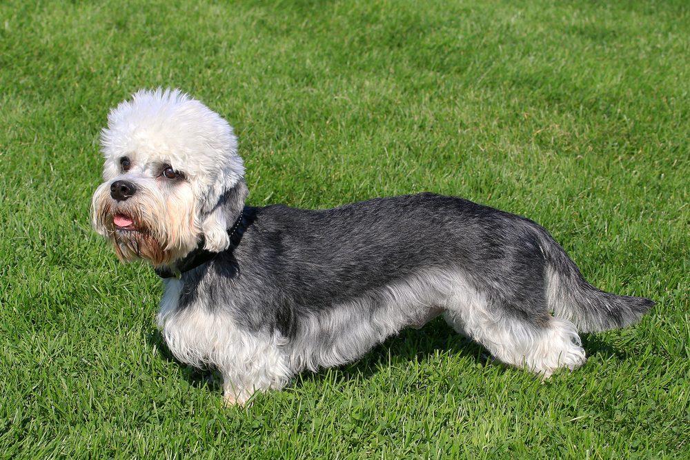 Le Terrier Dandie Dinmont