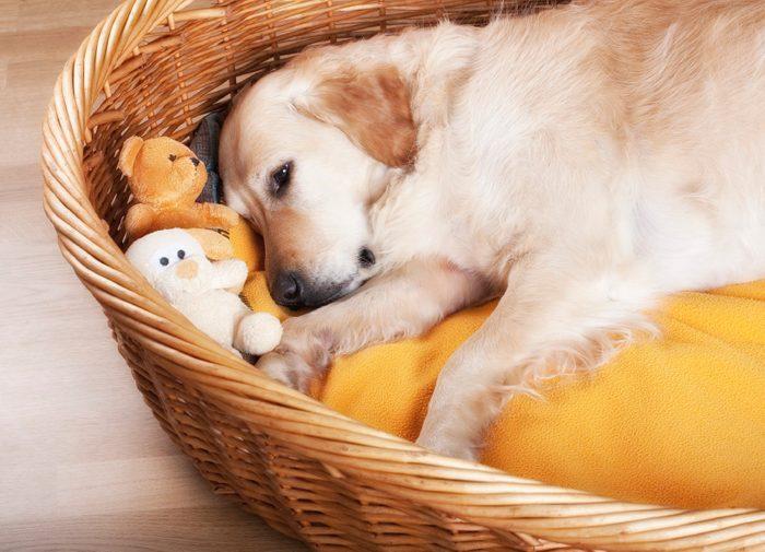 2. Pourquoi le chien pivote-t-il sur lui-même avant de se coucher ?