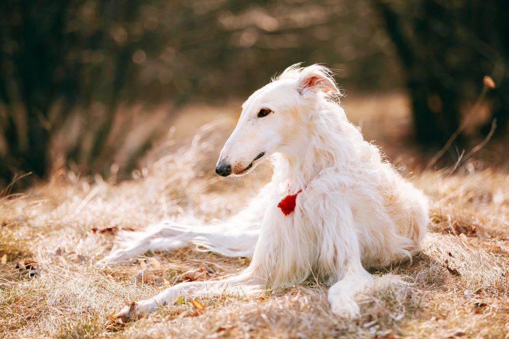 5. Une race de chien stupide: le barzoï ou lévrier russe