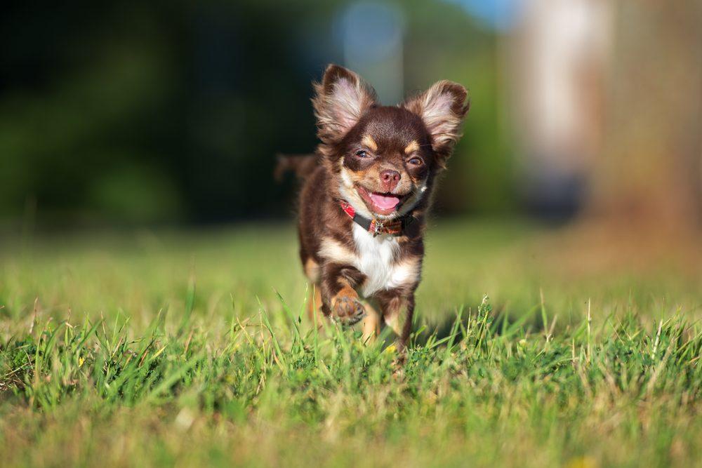 Le Chihuahua est le petit ami idéal pour la famille