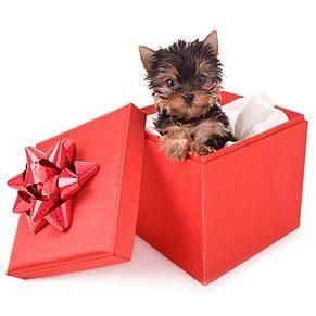 Ce chiot n'est pas un cadeau