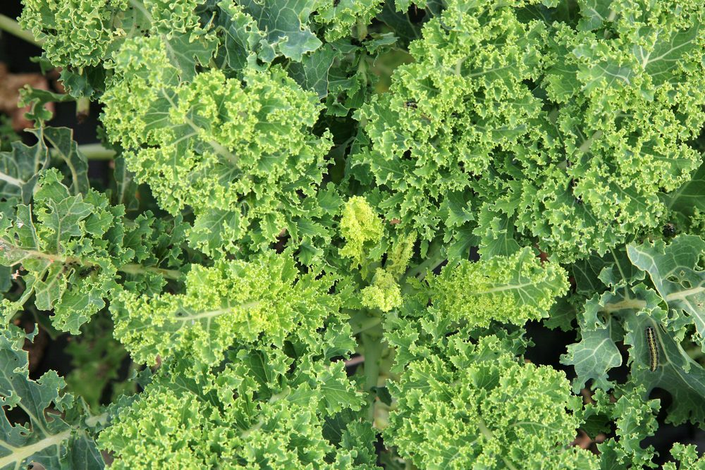 Kale (kale) is a food for melting fat