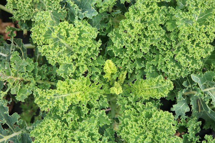 Le chou frisé (kale) est un aliment pour faire fondre le gras