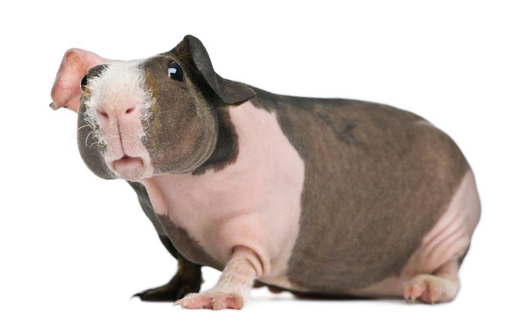 5. Le Cochon d'inde nu, le parfait animal de compagnie sans fourrure