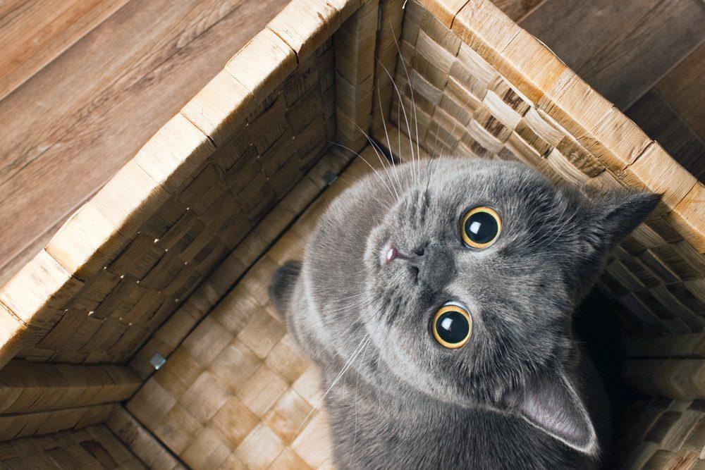 2. Comment est la personnalité des chats gris?