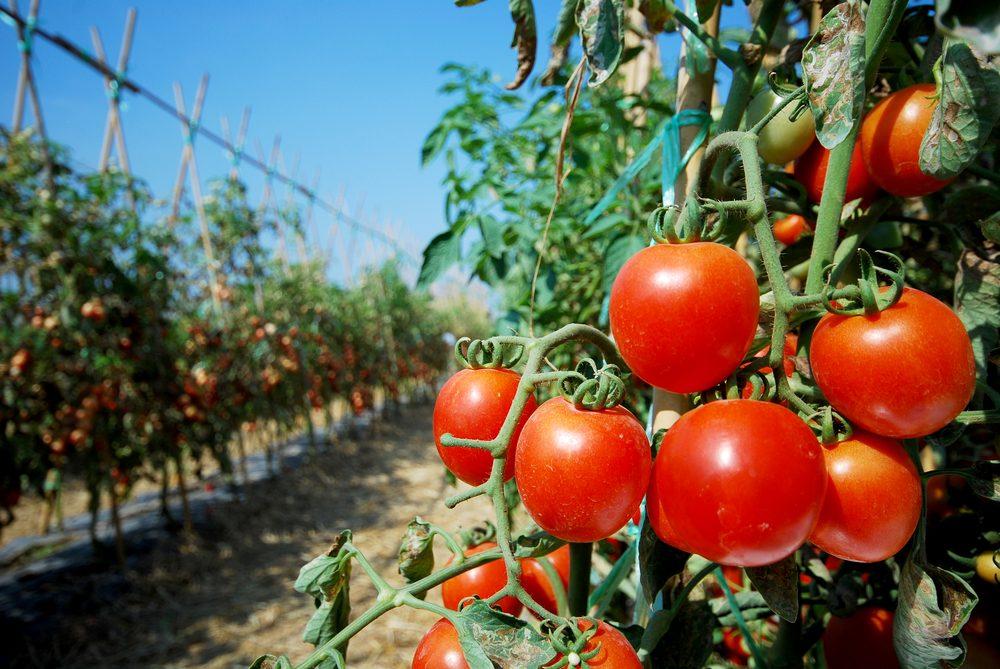 Les meilleures astuces pour faire pousser de grosses tomates - Quand repiquer les tomates ...