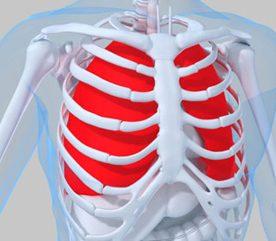 7. Les cellules des muscles de votre cage thoracique ont environ 15 ans (plus précisément 15,1).