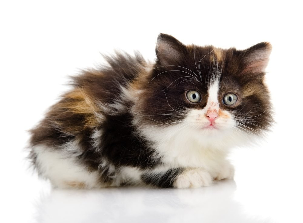 1. Comment est la personnalité des chats écaille de tortue ou tricolores?