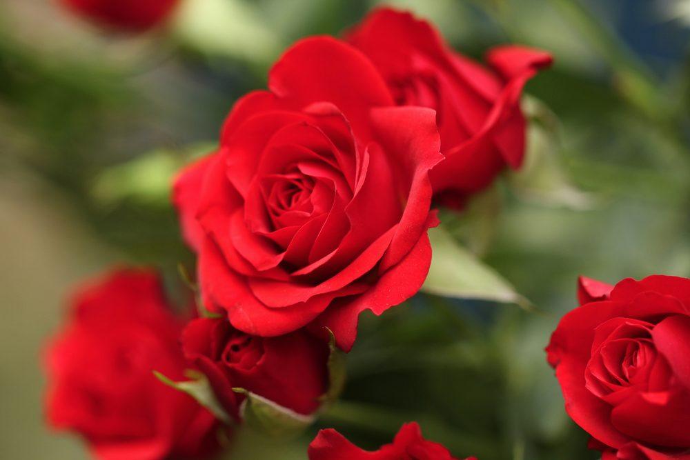 Le sel d'epsom est utile pour cultiver des roses.