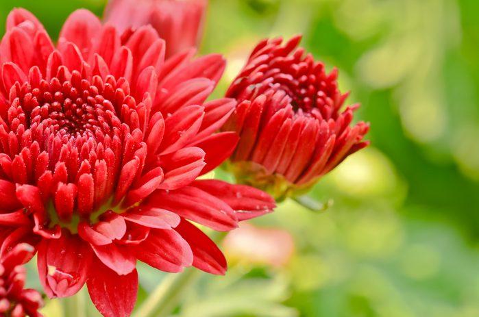 Dites « je t'aime » avec le chrysanthème