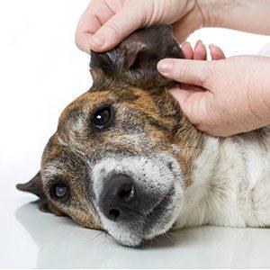 10. Examinez ses oreilles