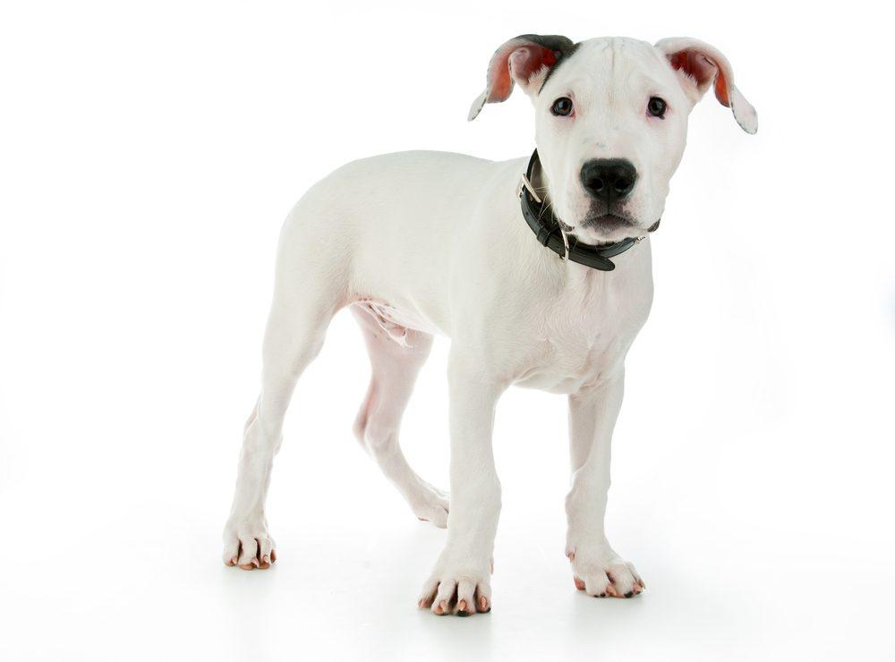 Le Dogue argentin sera un excellent membre de la famille