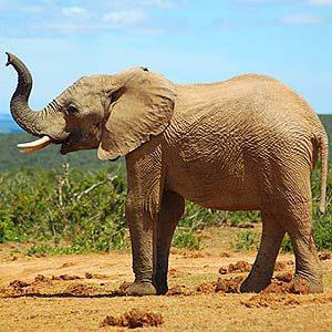5. Les éléphants femelles dirigent la harde