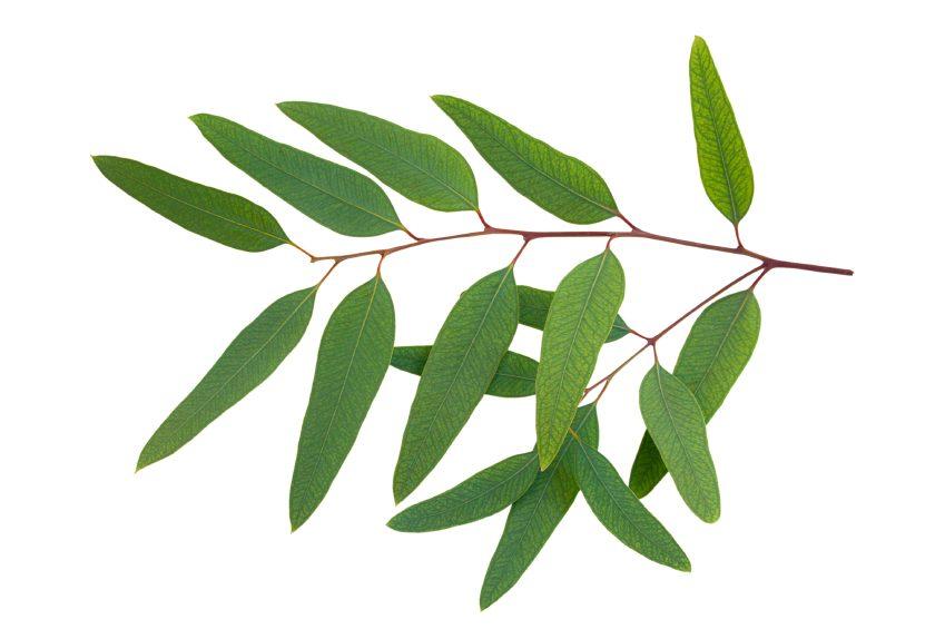 L'eucalyptus pour mieux respirer