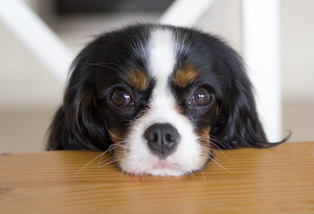 L'Épagneul King-Charles, un chien que la famille aimera