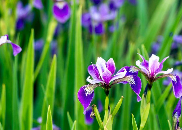 L'iris pour déclarer votre amour