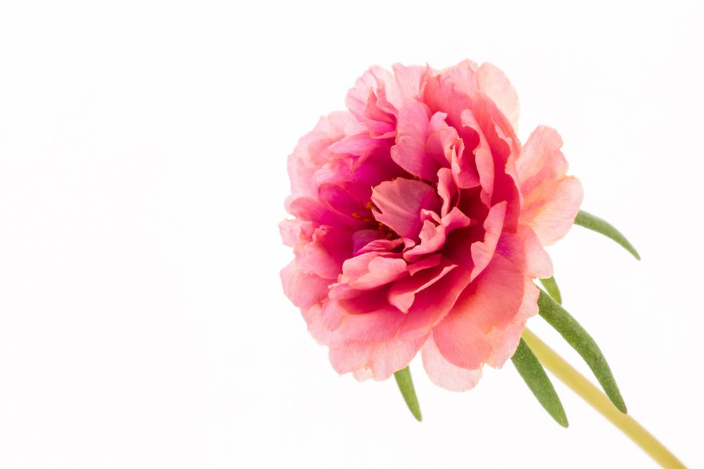 The carnation of florists to show him your love
