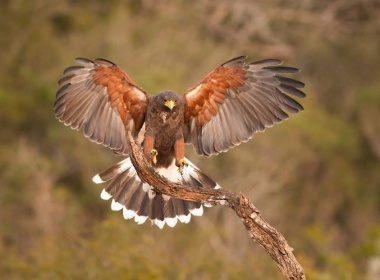 Faucons libres