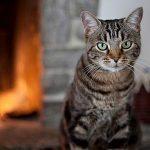 Pourquoi les chats se lèchent-ils tout le temps?