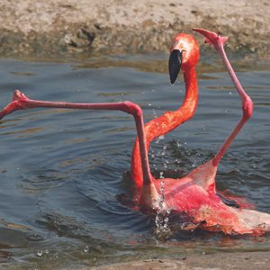 1. Flamant rose.