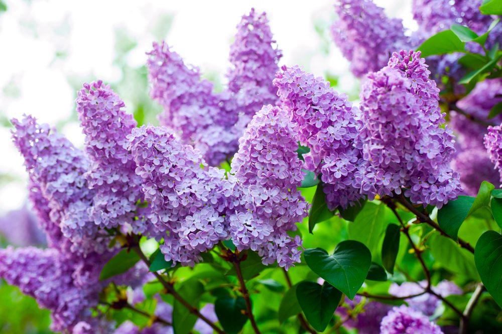 Fleur comestible : le lilas