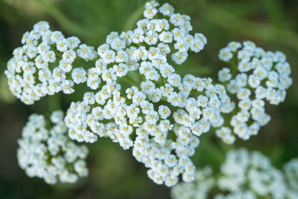 Fleur comestible : l'achillé millefeuille (achillea millefolium)