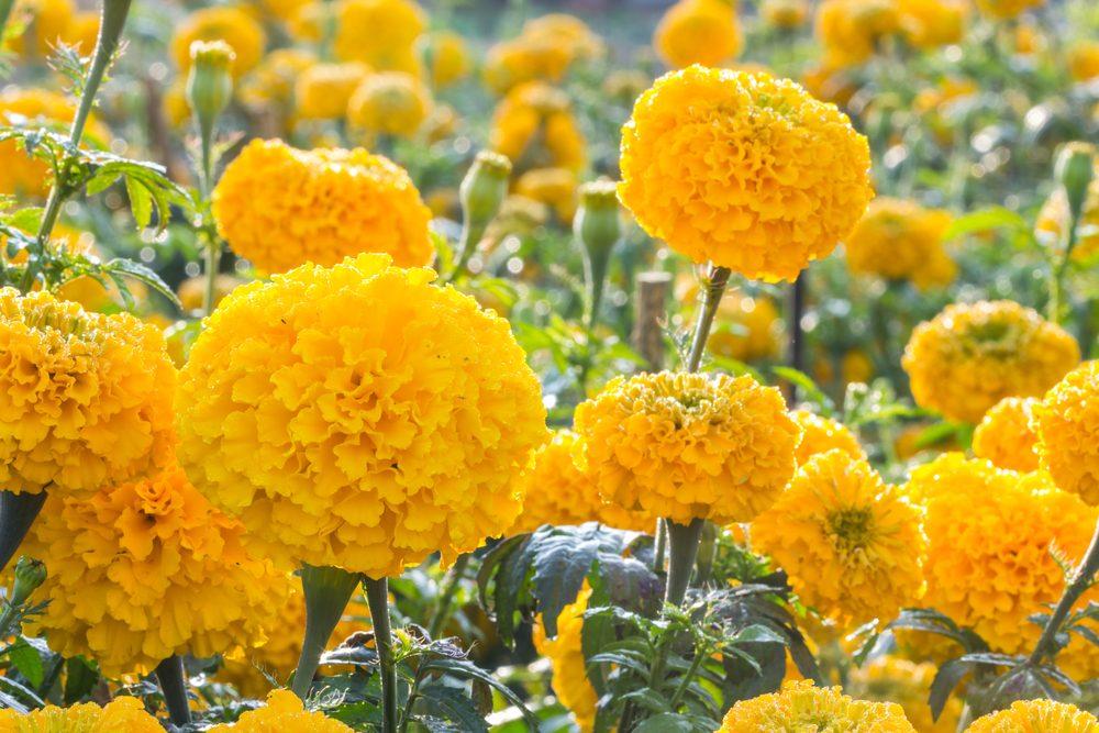 Fleur comestible : la fleur de souci (calendula)
