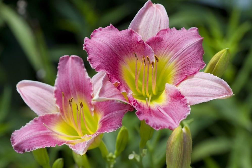 Fleur comestible : la hémérocalle (hémérocallis)