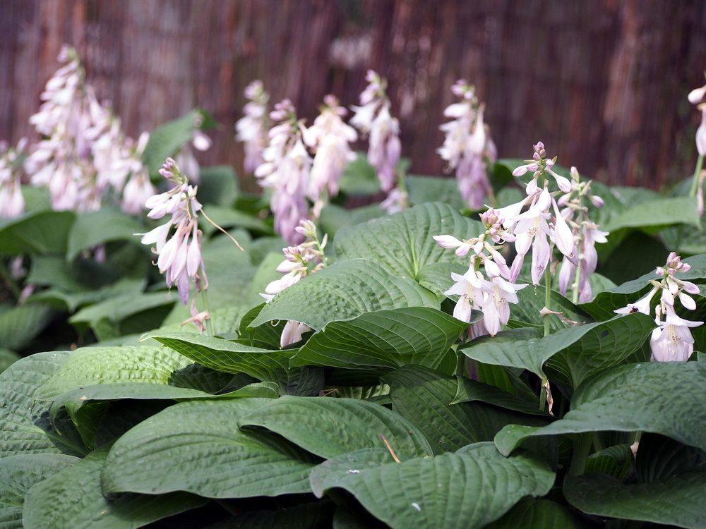 Fleur comestible : la hosta (h. fortunei)